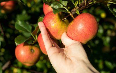 Apfel, der mit der Hand gepflückt wird.